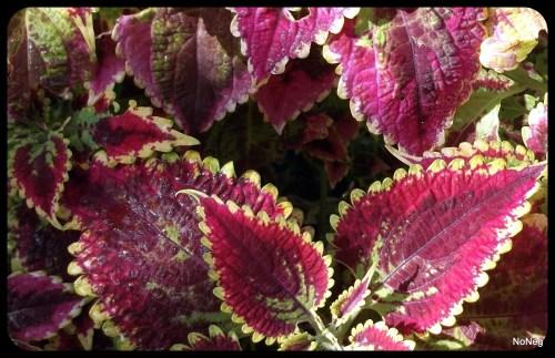 Coleus Plant / Flower--image by NoNeg