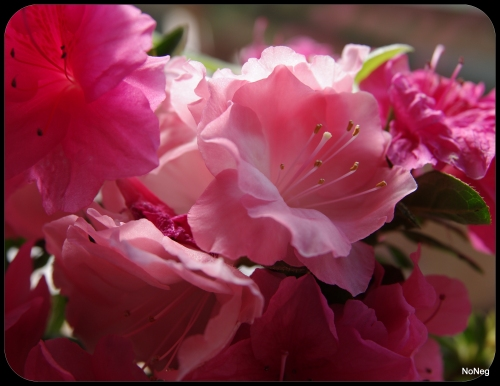 Azaleas, pink     Image by NoNeg