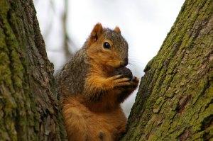 Beady eyed squirrel - a Google image.