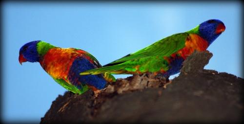 Rainbow Lorikeets Lake Macquarie