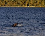 28-Dolphins (or porpoise) Lake Macquarie.