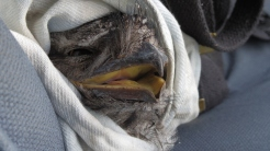3-Tawny Frogmouth, a brave smile? Image by NoNeg